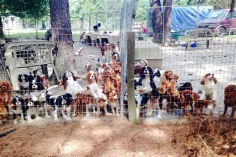 volunteers save dogs  breeding farm huffpost