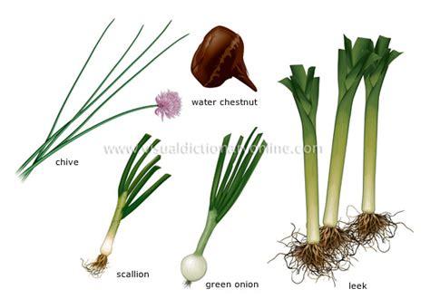 food kitchen food vegetables bulb vegetables 1