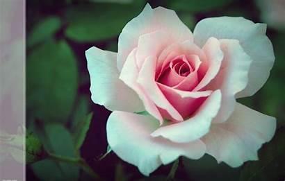 Pink Rose Deviantart