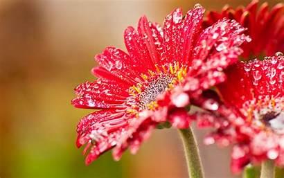 Flowers Gerbera Wallpapers Flower Desktop Backgrounds Floral