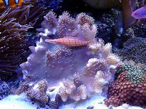 Devils hand coral | Melev's Reef, Inc