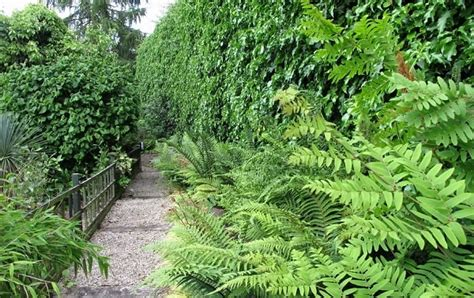 fern care outdoor how to care for ferns indoor and outdoor