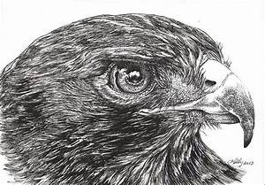 Red Tail Hawk Drawing by Kathleen Kelly Thompson