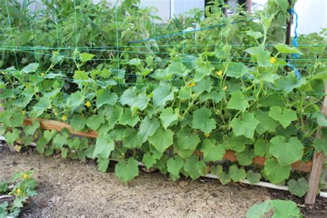growing cucumbers on a trellis growing cucumbers a complete growing guide stoney acres