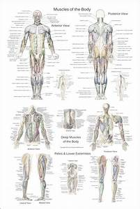 Therapy Anatomy Charts Anterior And Posterior Muscles Of The Human Body Poster
