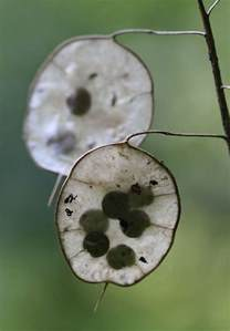 Silver Dollar Plant Seed Pods