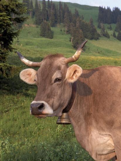 brown swiss  switzerland photographic print  lynn