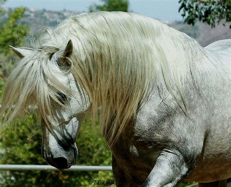 andalusian horse horses pretty breed stallion breeds bay spain tail