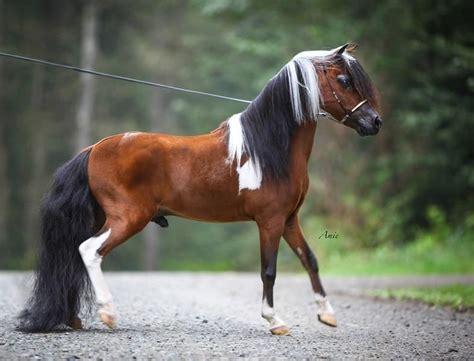 horses mini miniature horse champion stallion grand he pony mean ponies pretty tiny breeds shine deserves ll uploaded user equine