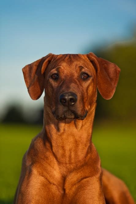 rhodesian ridgeback shedding a lot smartest dogs list 2013 breeds picture