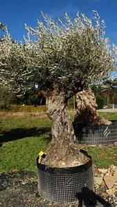 Planter Un Olivier En Pot : planter un olivier en pleine terre ~ Dailycaller-alerts.com Idées de Décoration