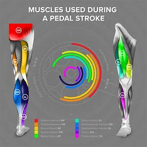 What Kind Of Muscles Are Used During A Pedal Stroke