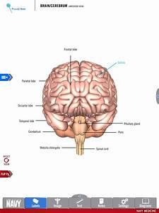 Brain Diagram Cerebrum