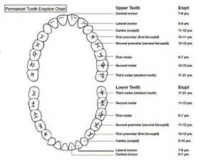 Adult Dental Tooth Number Chart Printable