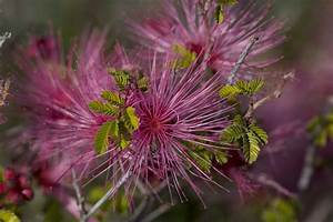 File:Beautiful purple desert flower.jpg