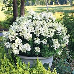 Hydrangea Paniculata Bobo : hydrangea bobo from wayside gardens ~ Michelbontemps.com Haus und Dekorationen