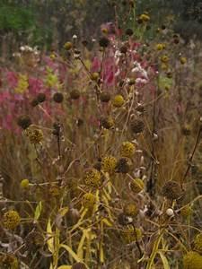 Sneezeweed  Helenium Autumnale
