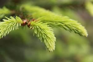 Honig Aus Fichtenspitzen : fichte picea abies vorsicht gesund ~ Lizthompson.info Haus und Dekorationen