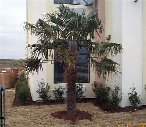 palms tropical trees  austin   tropical