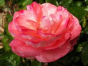 Bilder Blumen Kostenlos Downloaden : blumen bilder rosen rose mit tau kostenlose rosenbilder blumenbilder blumen bilder ~ Frokenaadalensverden.com Haus und Dekorationen