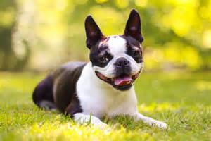 Boston Terrier Small Dog Breeds