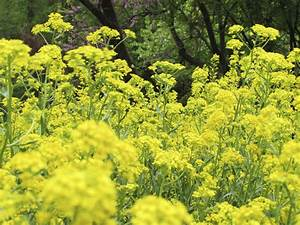 What Is A Woad Plant  U2013 How To Grow Woad Plant In The Garden