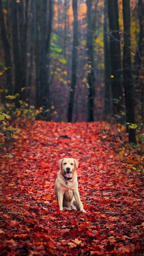 wallpaper labrador retriever autumn foliage forest hd
