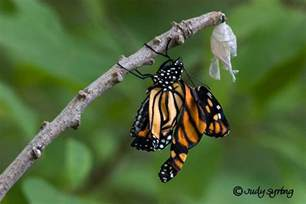 Butterflies Coming Out of Cocoon