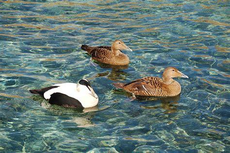 eiderente zoo  meer bremerhaven