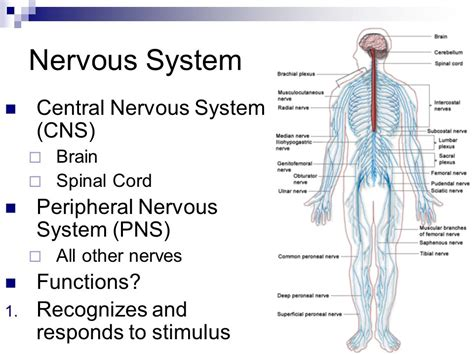 Nervous System Functions