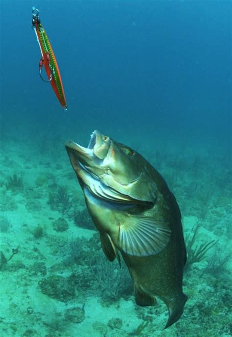 grouper jig fishing arnold jason underwater fish jigging chases worms jigs tips catching drowning