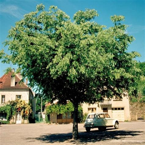 arbre mediterraneen croissance rapide maison design