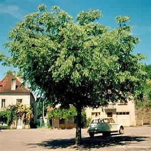 Arbuste Persistant Croissance Rapide : arbres arbustes haies persistants fleur planter achat ~ Premium-room.com Idées de Décoration