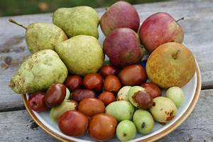 Brief Autumn Update…Persimmons, Jujubes, Cider, & More ...  Pear
