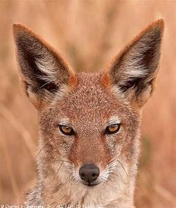 Watch Out for the Black-backed Jackal | Featured Creature