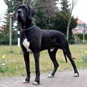 Great Dane - The world's tallest - dog breed information ...
