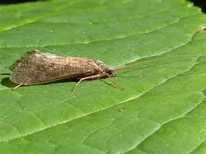 Hydropsyche Pellucidula Hydropsyche Pellucidula NatureSpot