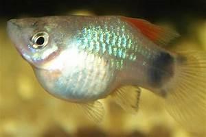 animales viviparos pez jpg (600×400) Animales ovíparos Pinterest Animales