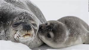 Seal pup kiss photo melts hearts - CNN