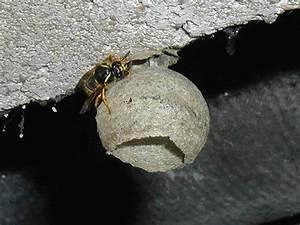 Wie Vertreibe Ich Wespen : anfangsnest gefunden ~ Orissabook.com Haus und Dekorationen