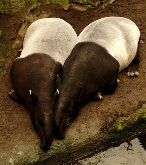 images  tapir  pinterest mobile news