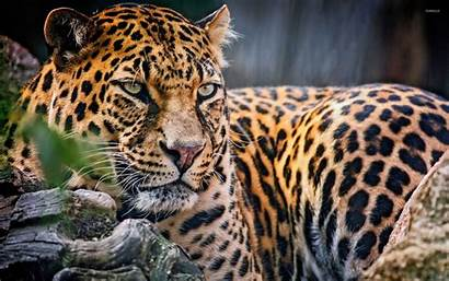 Majestic Leopard Animals Wallpapers Animal