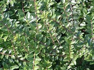 Unkrautvernichtungsmittel Für Wege : zwergmispel cotoneaster chiara 39 s plants cottoneaster ~ Michelbontemps.com Haus und Dekorationen