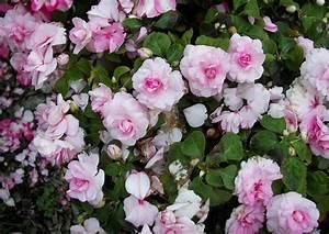 Blumen Für Schatten : impatiens walleriana 39 silhouette light pink 06 39 flei iges lieschen super balkonblume ~ Whattoseeinmadrid.com Haus und Dekorationen