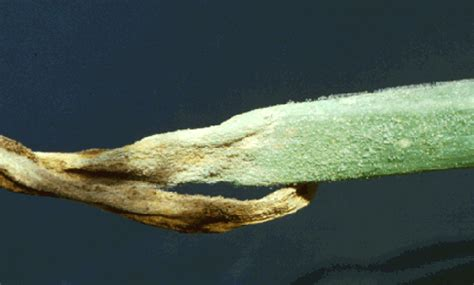 http://web.entomology.cornell.edu/shelton/veg-insects-global/graphics/dmildew/dmildew3gif.html