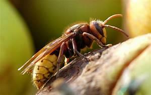 Gift Für Wespen : hornissen bek mpfen durch kammerj ger sch dlingsbek mpfung ~ Whattoseeinmadrid.com Haus und Dekorationen