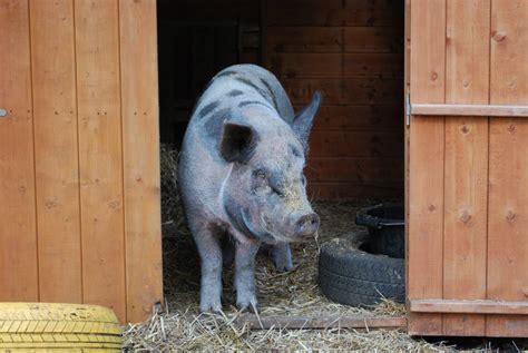pig wallpaper  screensavers wallpapersafari