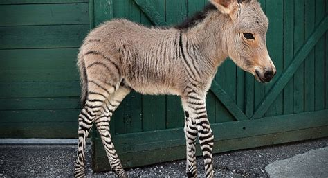 hybrid animals   exist