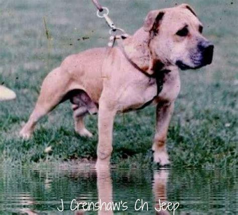 bulldogs apbt images  pinterest doggies