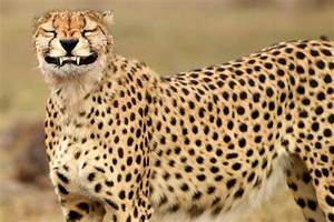 Cheeky Cheetah Flashes His Gnashers